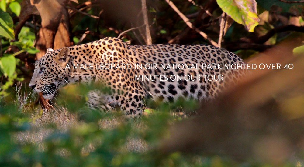 Asiatic Leopard from Gir National Park