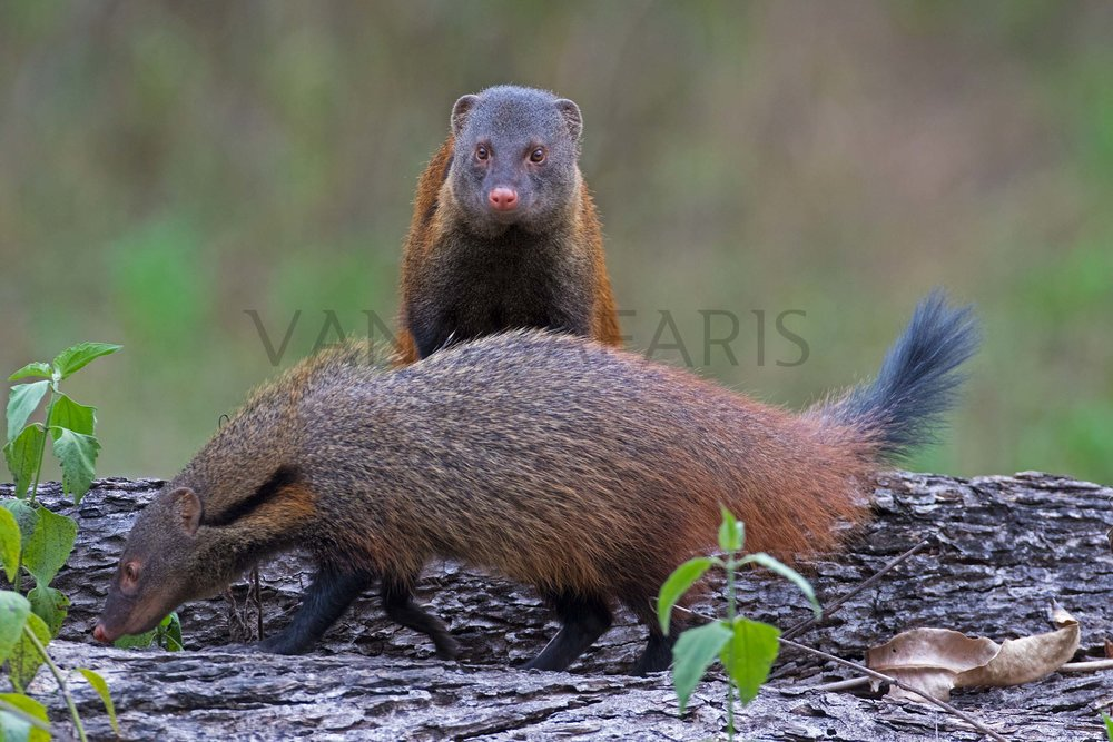 Stripe Necked Mongoose_1.jpg