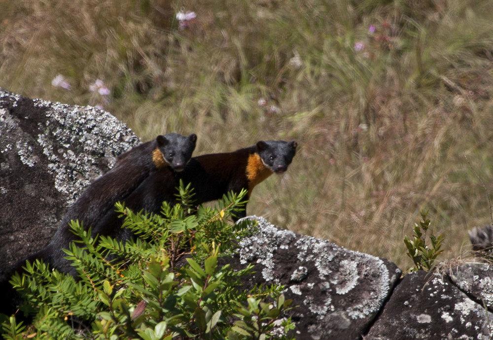 Wildlifesafaris_endemicmammals_1.jpg