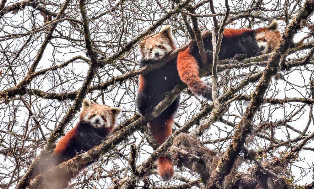 Wildlifesafaris_redpanda_3.jpg