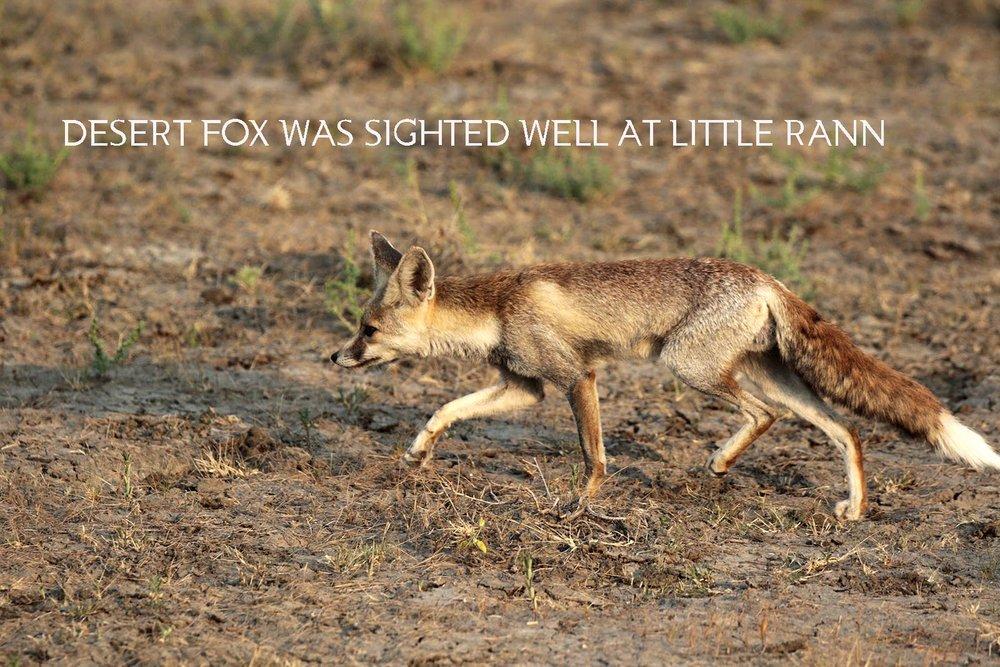 Desert Fox_2.jpg