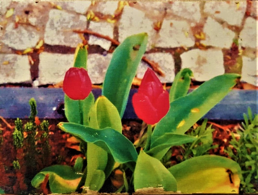 Tulpen am Straßenrand.jpg