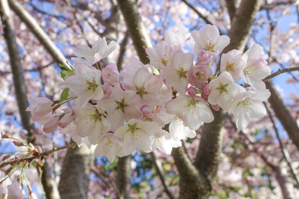 curio.trips.japan.sakura.jpg
