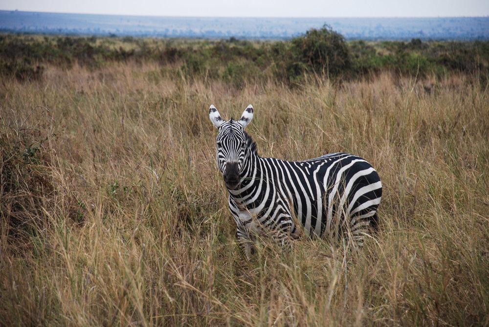 curio.trips.kenya.safari.zebra