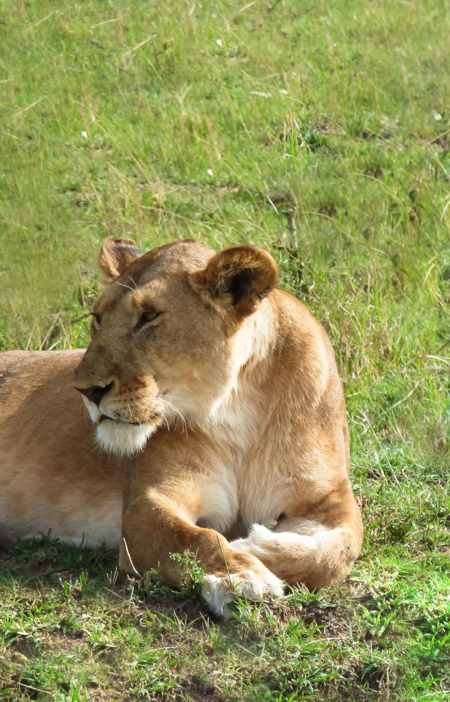 curio.trips.kenya.maasai.mara.lion.relaxing.portrait.jpg
