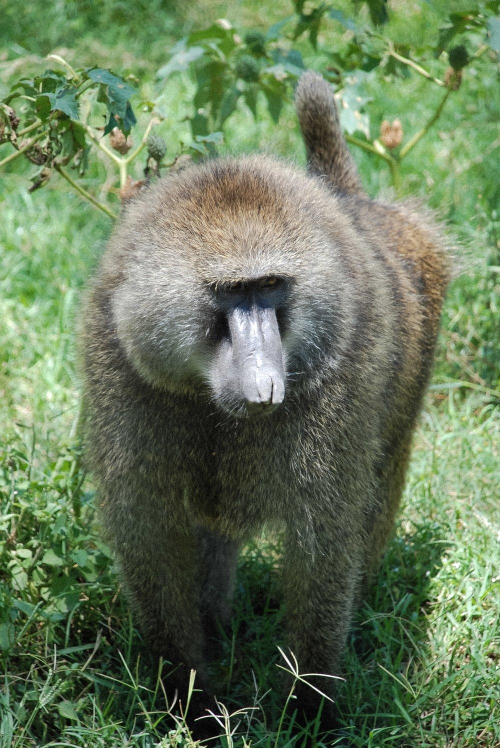 curio.trips.kenya.maasai.mara.monkey.portrait.jpg