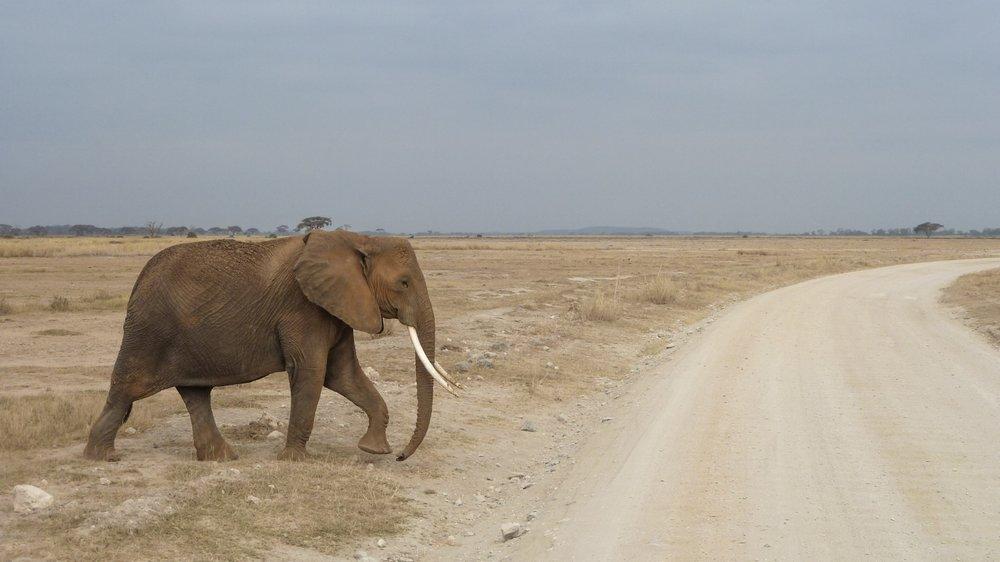 curio.trips.kenya.elephant.crossing.jpg