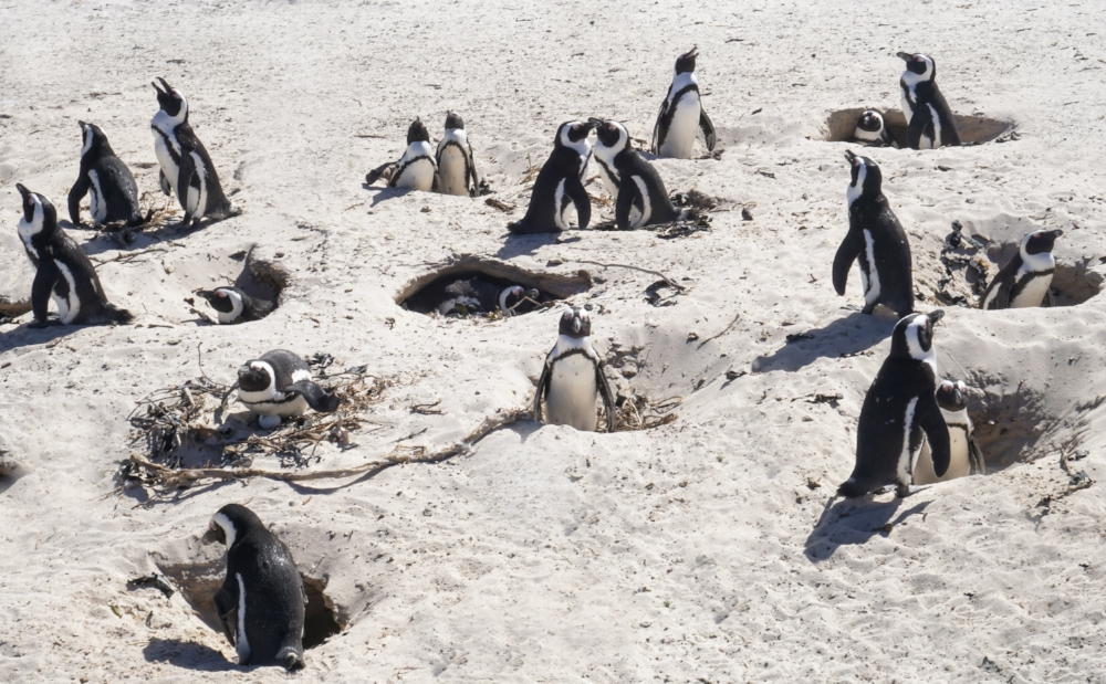 curio.trips.south.africa.boulders.beach.penguin.masses.jpg