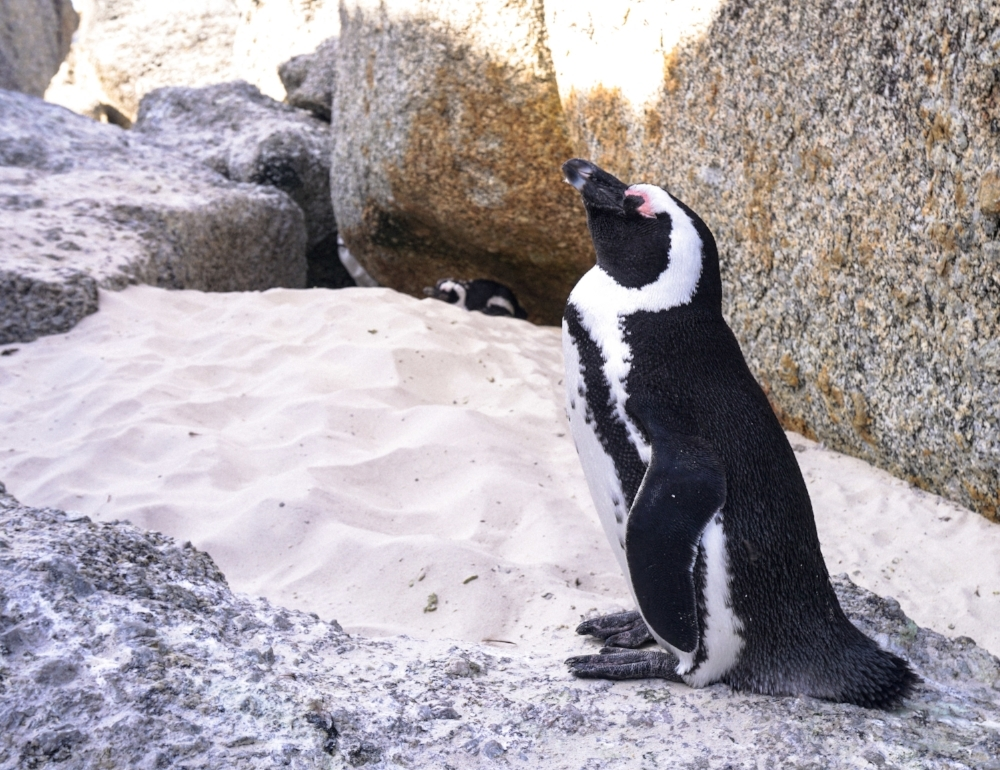 curio.trips.south.africa.boulders.beach.penguin.solo.jpg
