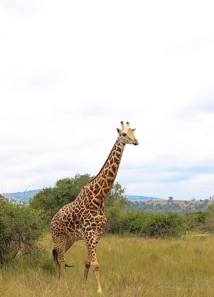 curio.trips.rwanda.akagera.np.giraffe.walk.jpg