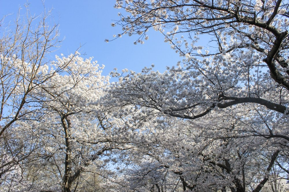 WATCH CHERRY BLOSSOMS BLOOM IN JAPAN