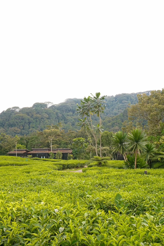 curio.trips.rwanda.nyungwe.np.hotel.tea.view.portrait-2.jpg