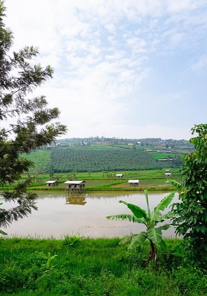 curio.trips.rwanda.rice.fields.jpg