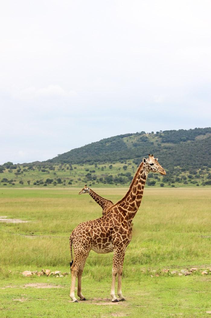 curio.trips.rwanda.akagera.np.giraffe.peekaboo.jpg