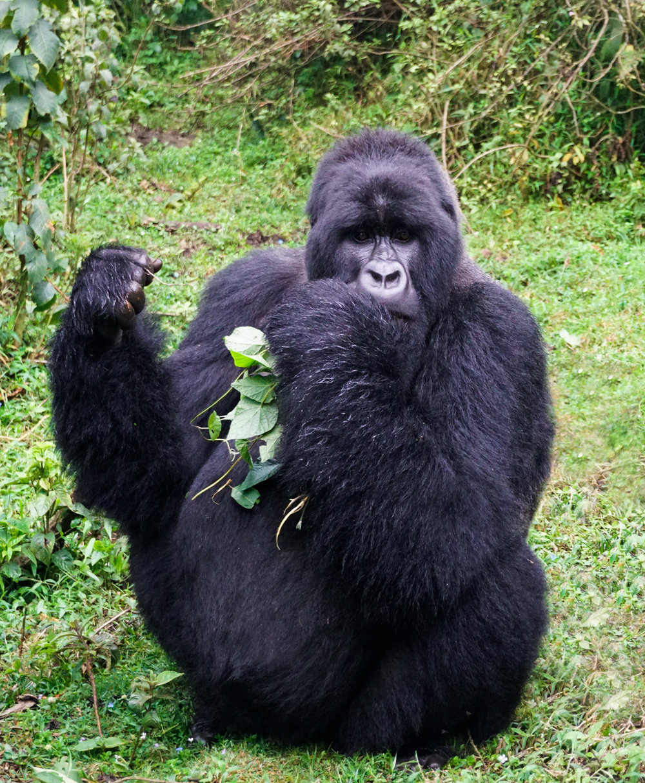 curio.trips.rwanda.volcanoes.np.silverback.gorilla.jpg