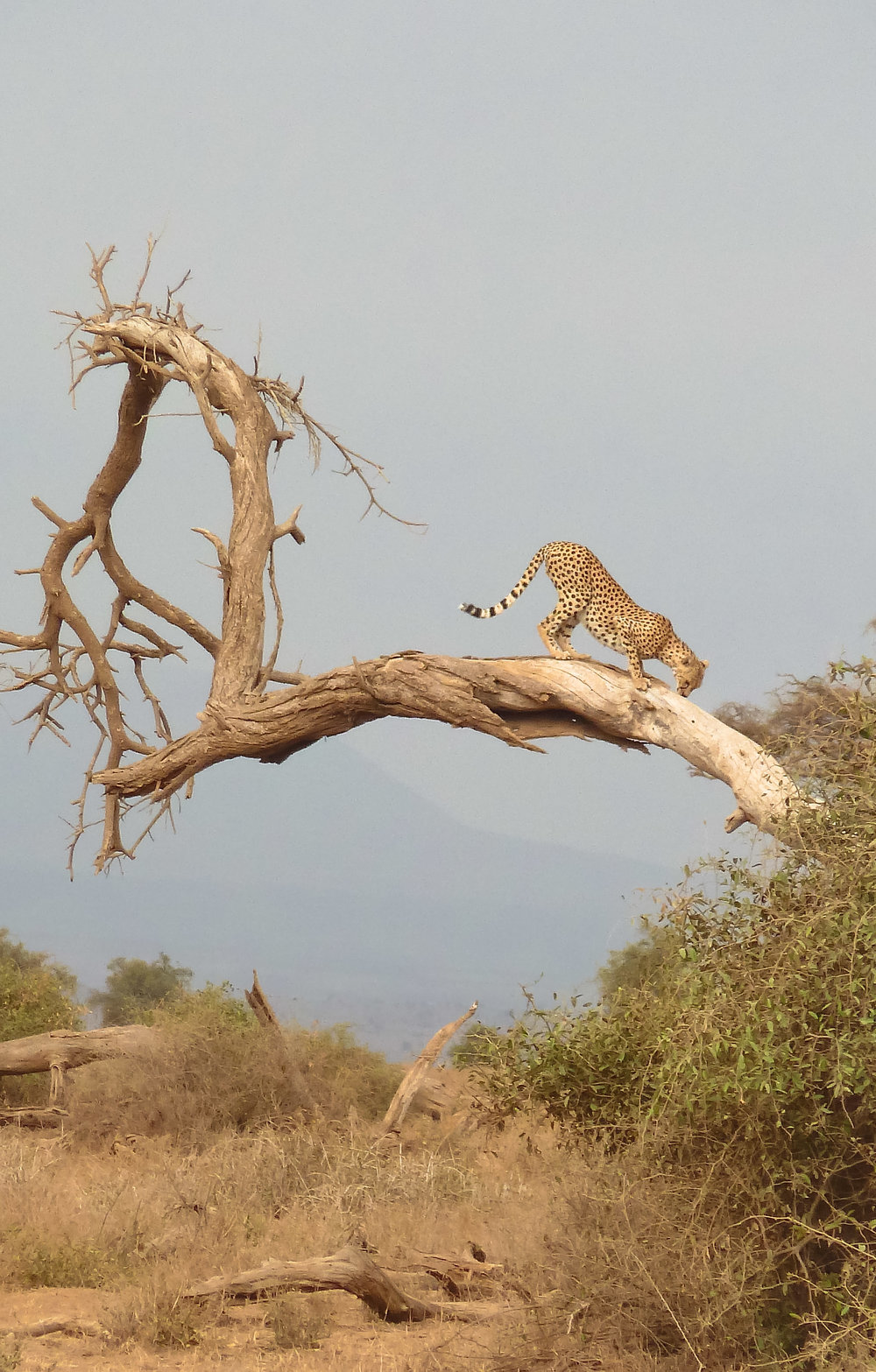 curio.trips.kenya.cheetah.bent.forward.tree.portrait.jpg
