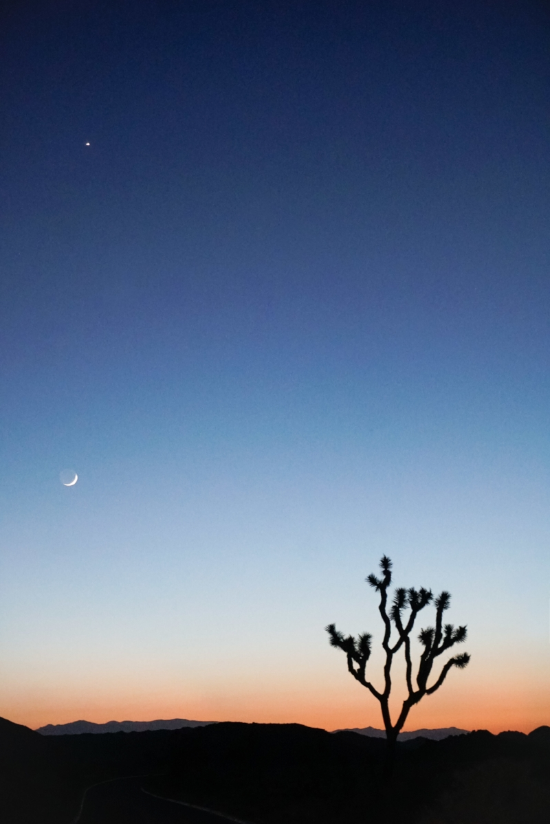 curio.trips.usa.cali.joshua.tree.np.sunset.tree.portrait.jpg
