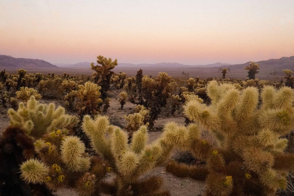 curio.trips.usa.cali.joshua.tree.np.cactus.garden.sunset.landscape.jpg