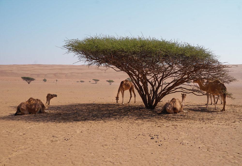 curio.trips.oman.desert.camels.tree.landscape.jpg