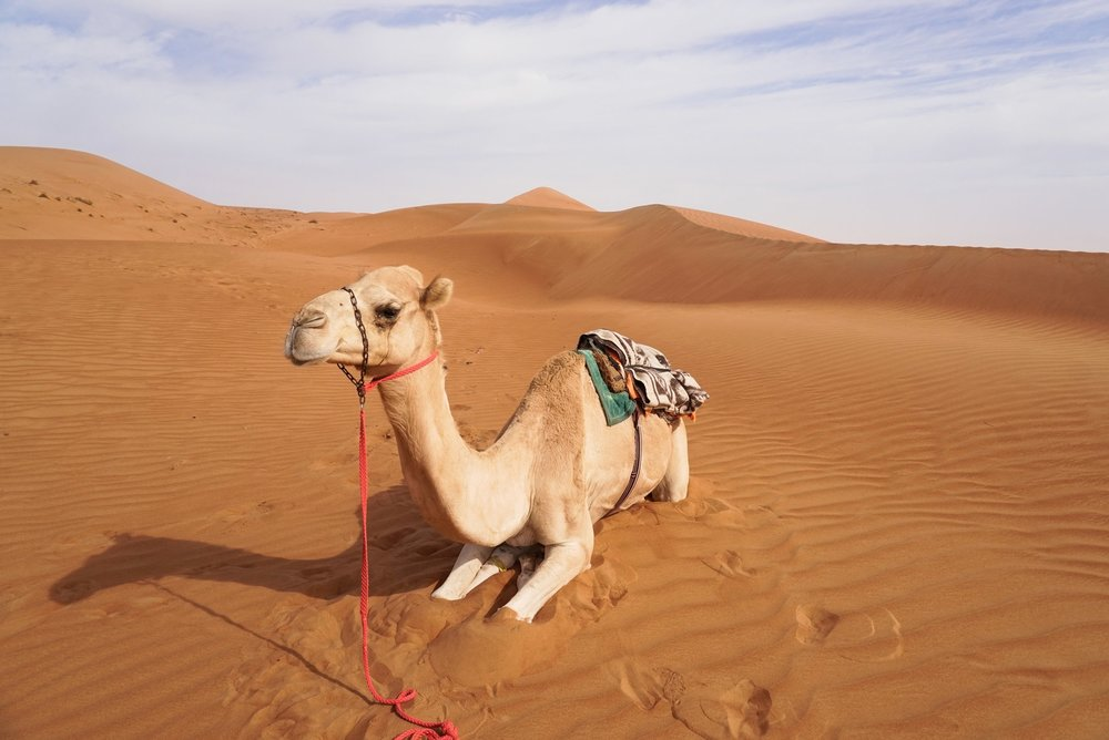 curio.trips.oman.desert.solo.camel.dune.landscape.jpg