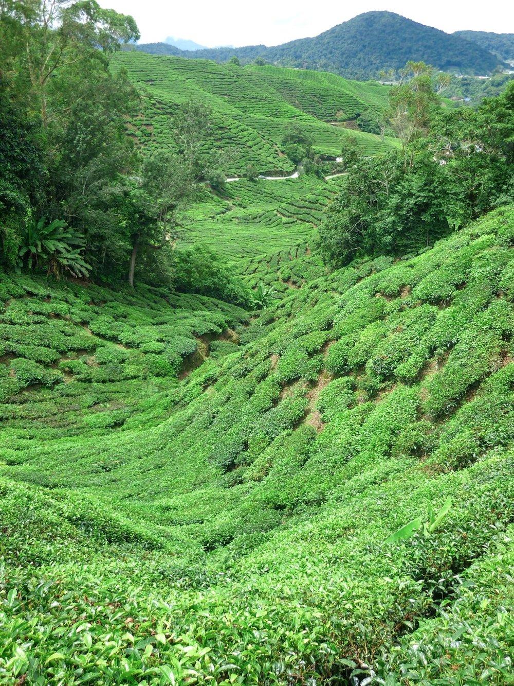 curio.trips.malaysia.cameron.highlands.jpg