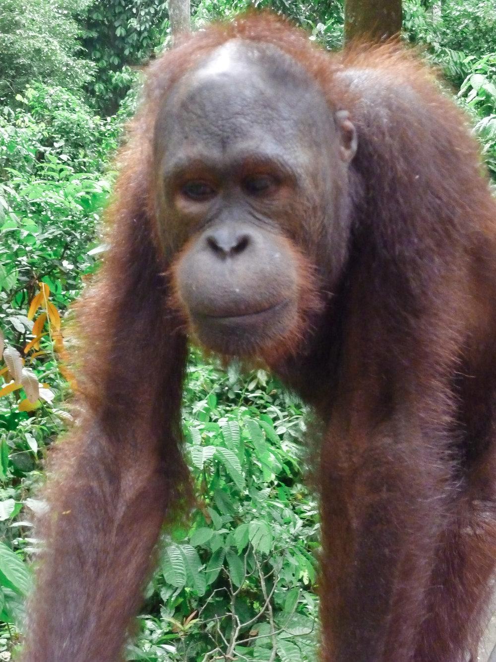 curio.trips.malaysia.borneo.orangutan.walking.portrait.jpg