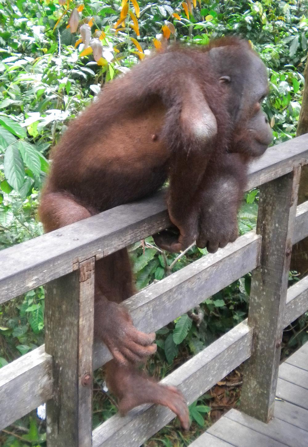 curio.trips.malaysia.borneo.orangutan.climbing.portrait.jpg