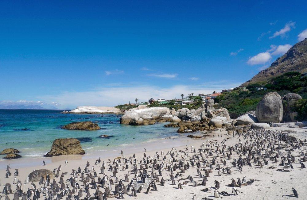curio.trips.south.africa.boulders.beach.penguins.jpg