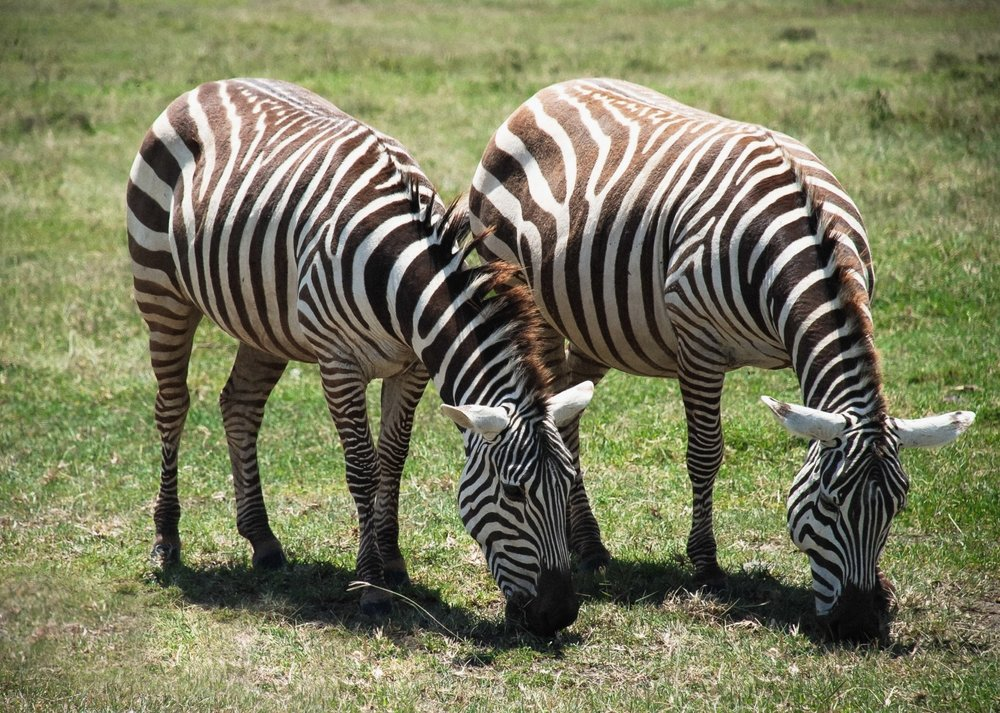 curio.trips.kenya.maasai.mara.zebra.pair.eating.landscape.jpg