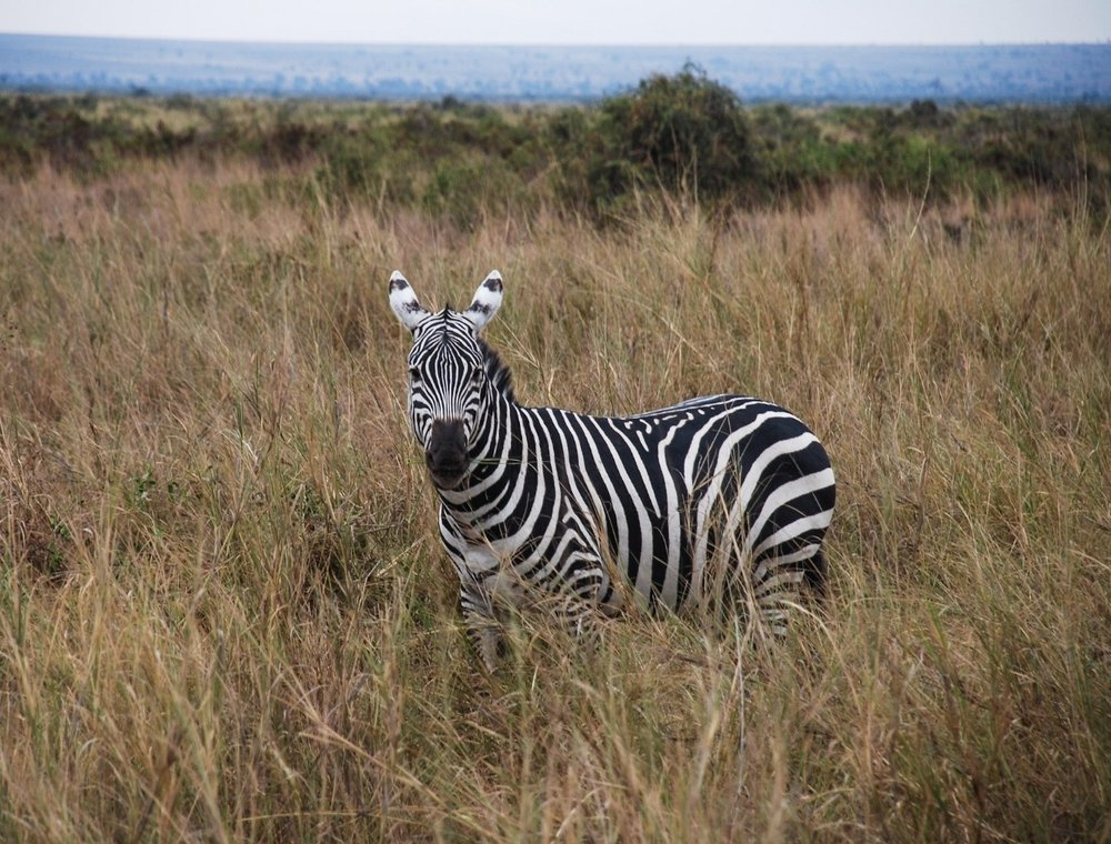 curio.trips.kenya.zebra.jpg