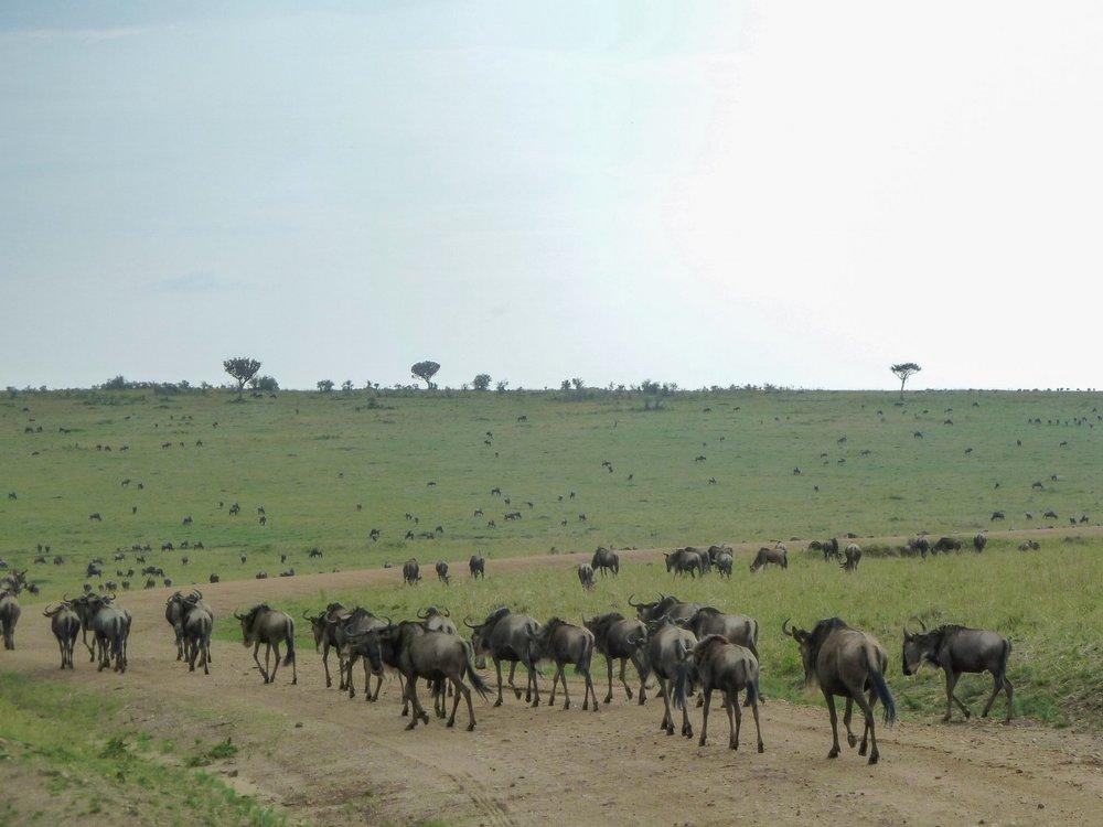 curio.trips.kenya.wildebeest.migration.1.jpg