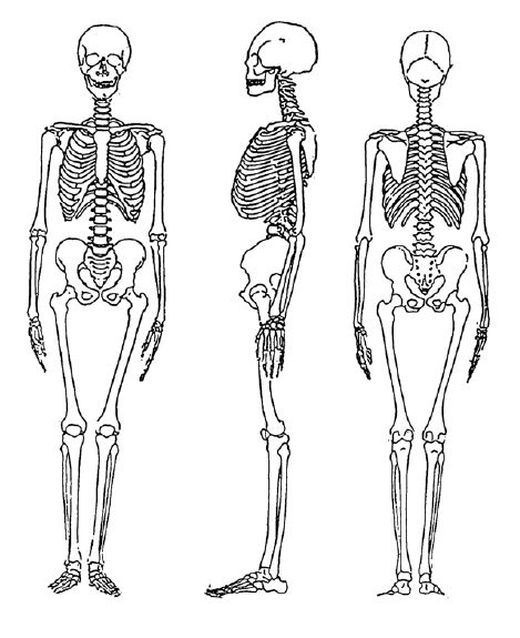 Ubeklaker 1978 Adult Skeleton.JPG