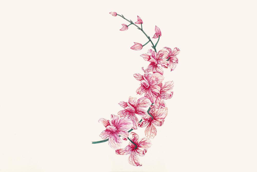 estudo para estampa orquídeas [aquarela]
