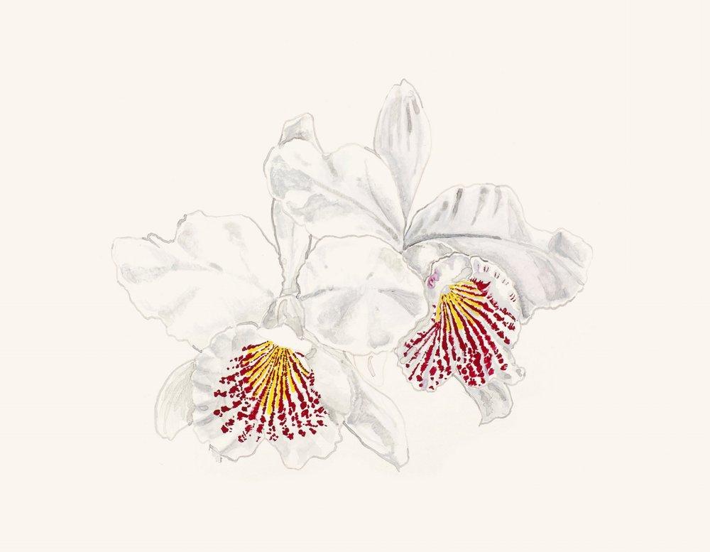 estudo para estampa orquídea [guache]