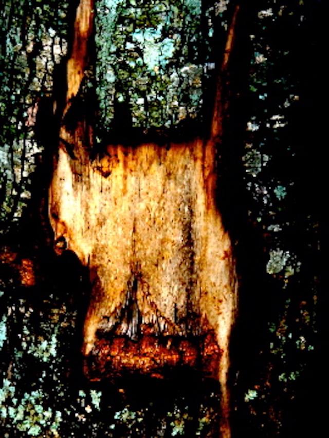 obobo tree
