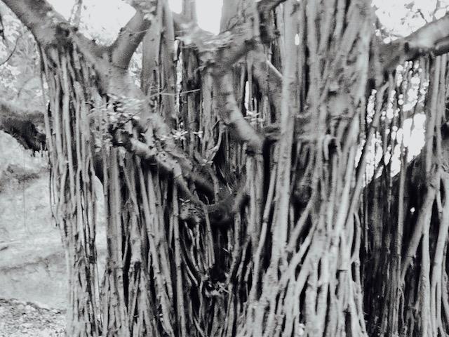 calling. ceiba tree.