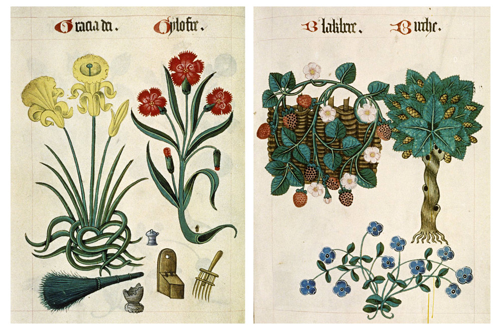 Two more pages of botanical illustration. On the far left, Daffodil, and on the right, Blackberry and Birch.