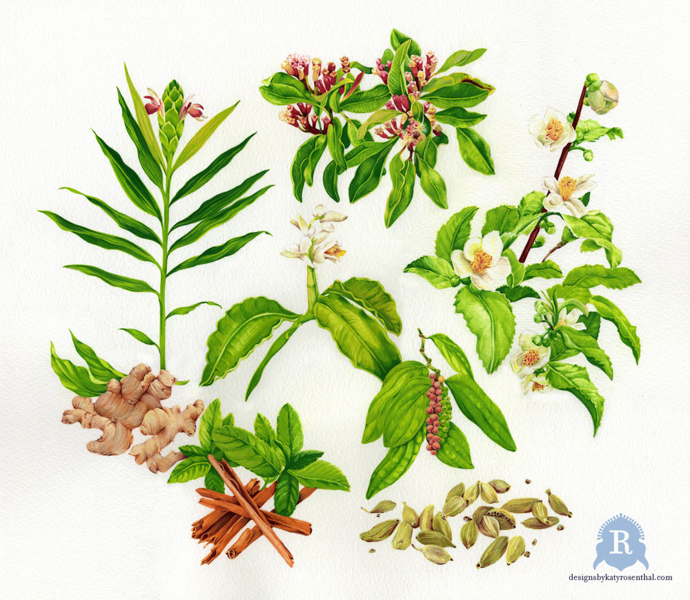 My own botanical illustration of the basic ingredients of chai: ginger, cloves, tea plant, cardamom, peppercorn, and cinnamon.  This served as the basis for the more stylized version that became the central motif of The 'Chai Botanical' Scarf.
