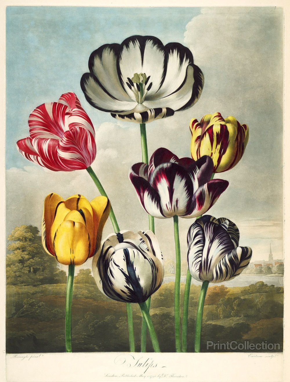 Robert John Thornton, Tulips from the Temple of Flora, from the  Flora Folio , published 1777-1807, London.