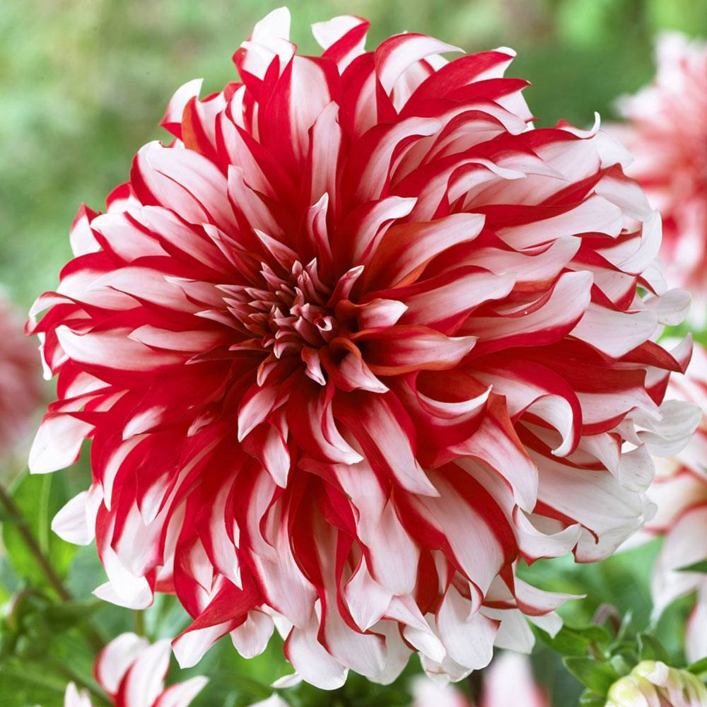 Candy Stripe Dinner Plate Dahlia, image from Telegraph Garden.