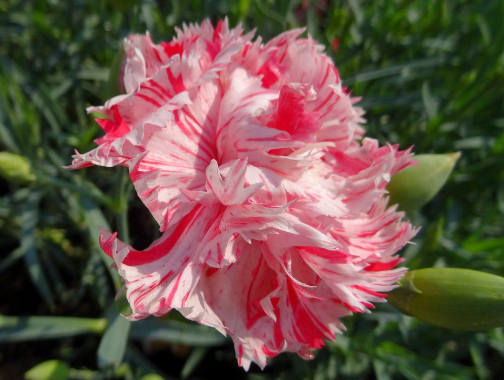 Peppermint Stripe Carnation.  Image from Shady Maple Farm.