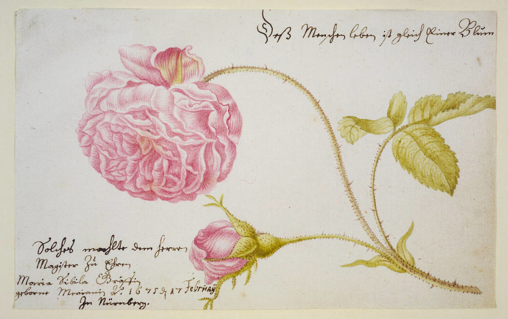 Watercolor study of a Rose by Maria Sibylla Merian, Nürnberg 1675.  Image from Bamberg State Library.