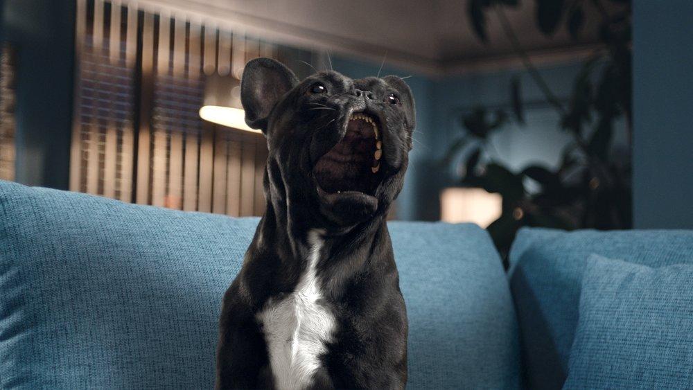 Oscar the opera singing French Bulldog (Obviously)