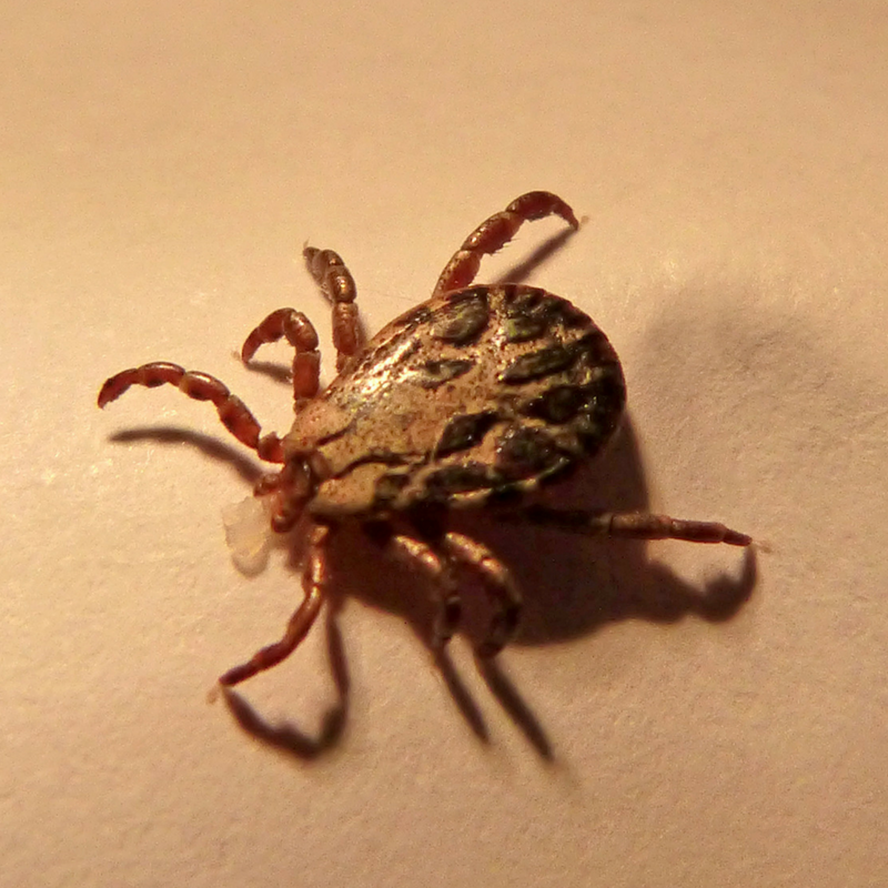tick photo.png