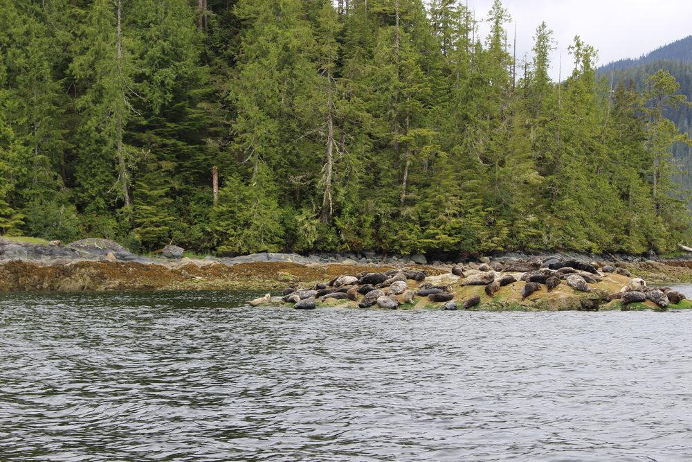 A rock of seals