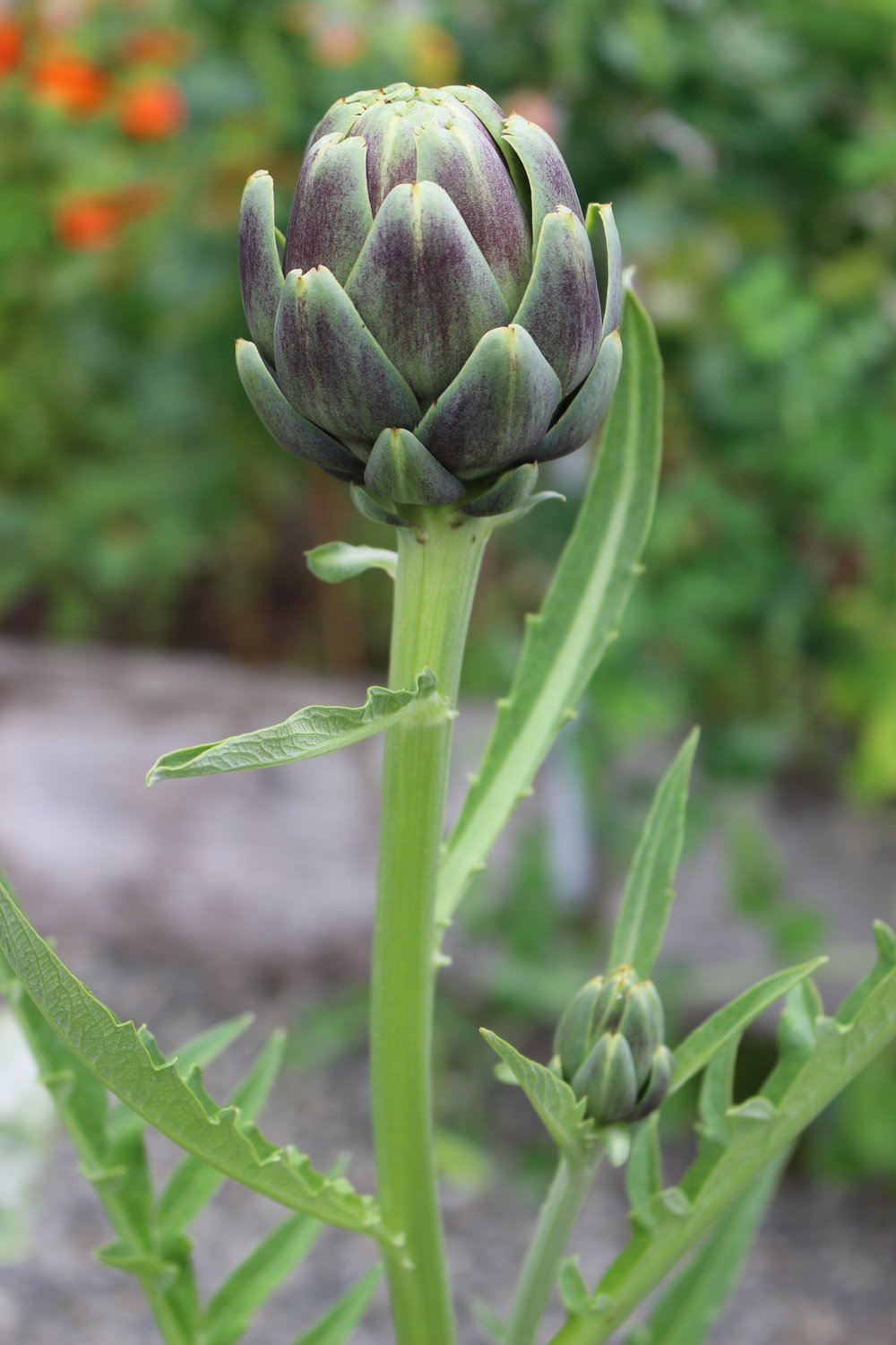 An artichoke in the Community Gardens ready for picking