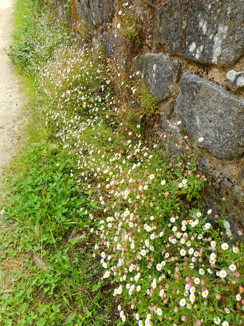 I loved these wild daisies growing out of this brick wall