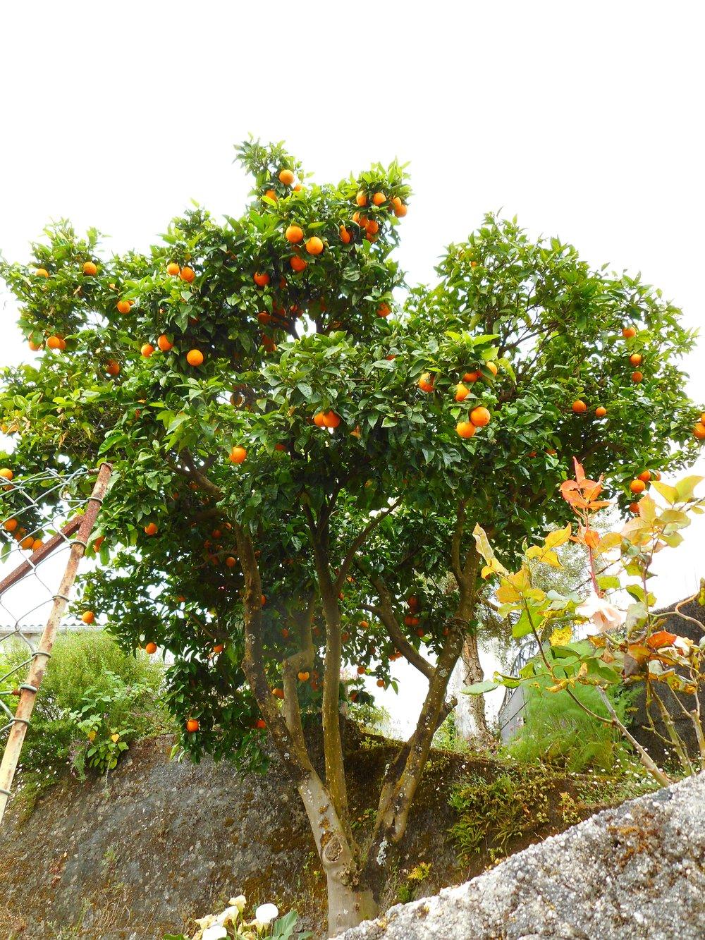 Citrus trees were everywhere