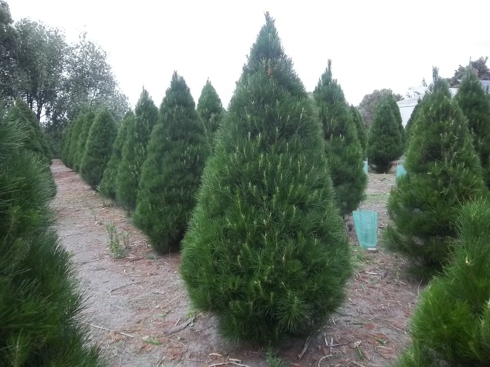 Keysborough Christmas Tree Farm