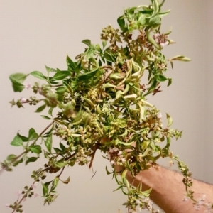 A bouquet of herbs.